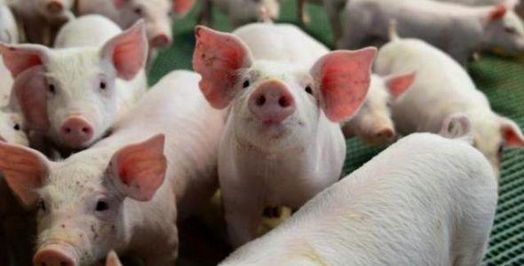 SC exportou mais de 179 mil toneladas de carne suína até agosto