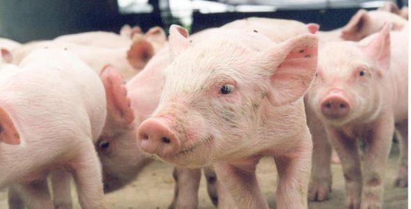 Missão técnica sul-coreada deve oficializar a importação de carne suína de SC