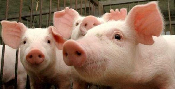 Aurora Alimentos apresenta melhoramento genético de suínos