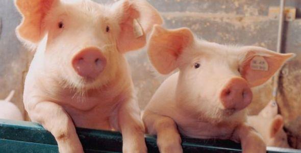Santa Catarina se consolida como maior exportador de carne suína do país