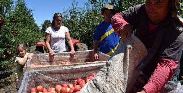 Santa Catarina comemora safra de maçã com qualidade histórica