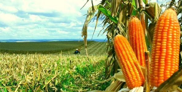 SC investe em tecnologia para produzir mais milho