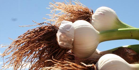 Santa Catarina avança na produção de alho e tem safra de 20,2 mil toneladas