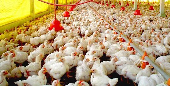 Exportações de carne de aves já superam um bilhão de dólares