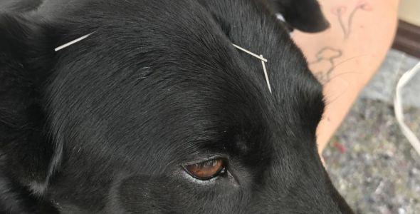 Pets ganham tratamento através da acupuntura no Médio e Alto Vale