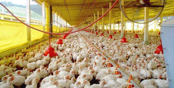 Novos mercados para a carne produzida em Santa Catarina